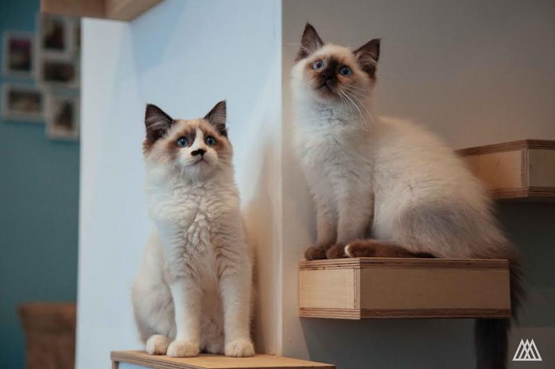 MaisonDeMoggy-Cat-Cafe-hisheji (8)